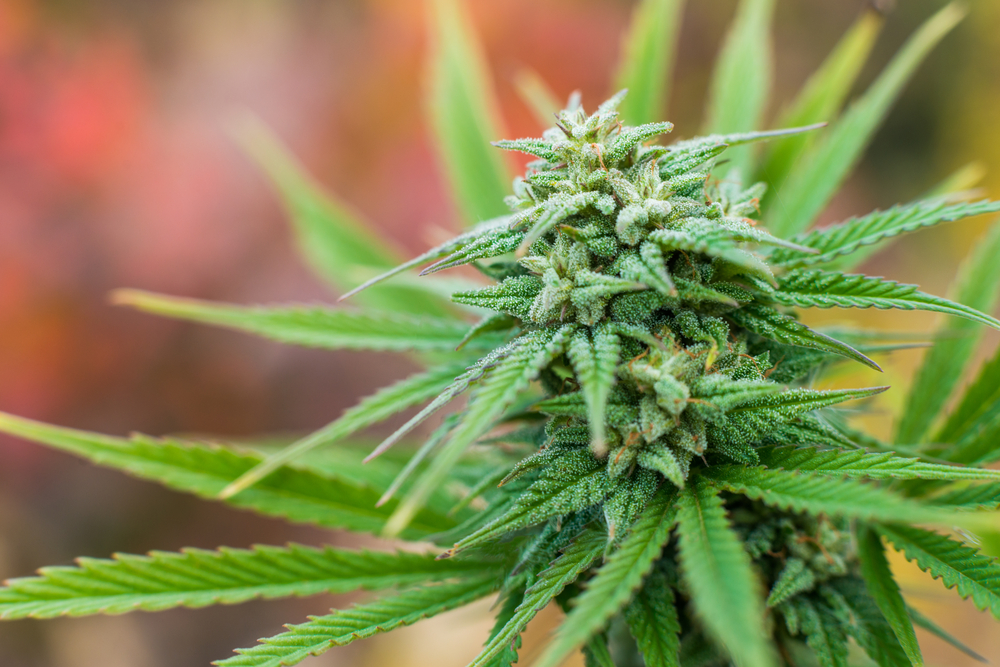 Fibromyalgia Patients May Someday See a THC Patch Treatment